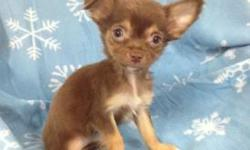 Female Chihuahua born on 9-30-12. UTD on shots, vet checked, and comes with a health warranty and health certificate.  ** ACA Registered ** Microchipped ** Credit Cards Accepted (Visa/MasterCard, Discover) ** 90 Days Same as Cash No Financing
