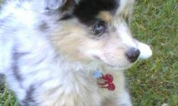 I have a mini australian shepherd, female I am looking to breed in the near future. She is a blue merle. I am looking for a possible black tri mini or toy australian shepherd just for the purpose of breeding my female. Must beable to barrow male for short