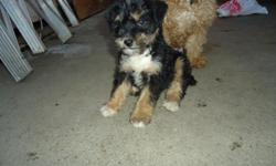 Mini Schnauzer's for sale!!!!!! I have two females and one male. They were born on 11/29/2010. Really lovely and playfull puppies.