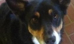 Missing from I-40 & Georgia/15th & Austin since 08/21/11. Kids miss terribly. Answers to Rex or Rexina. Very skittish. Mainly black with brown and white on snout and white chest. Contact Erica 806.433.0726