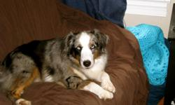 Male Blue Merle Australian Shepherd went missing 9/16 mid-afternoon. He has two blue eyes, all four legs have white, also his belly and undercoat are white. He goes by Patch. If anyone hears or sees him please contact me as soon as possible!