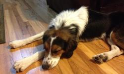 We lost our dog on 8/29 when our gate failed to close properly. He is a medium sized, black, brown and white australian shepherd mix with brown speckles on his nose. Please call or text at ()- or ()- with any information. Thank you for your help.