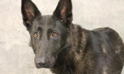 Lost female, black German shepherd, approx 3 years old, 60 pounds in Blythewood.  She was just adopted and spayed, but the collar broke upon arrival, and she took off 5/26/12.  No tags, no collar but does have microchip.