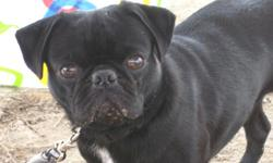 He is a black pug whith white chest , he have a scar on his left hand whith no hair . He lost in caldwell ave in visalia ca. We are ready to paid a reward !! my kid are sad wants her dog back,, please any info call 323 329 14 10 .