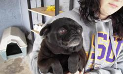 Lost Black Pug. She got out around 2:00PM today, Friday June 4 in the area of 6Th and Alder & Poplar. She has a little white on her paws. Please call Carolyn at 831-239-1415 or Sandi at 530-343-4774. Owner is very upset. Thanks for any help you may have.