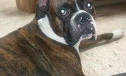 Lost Boxer, Tampa Fl Last Seen 11/21/2012   A 21 month old male reverse brindle Boxer named Brody went missing on 11/21/2012.  He was last seen on Anderson Road, Tampa Fl 33634.  If you have any information contact Adriana at (504)581-6222