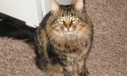 """Maine Coon--long-haired. """"Reginald"""". Microchipped. Woodlawn/Austin Lake area of Portage. $50 reward. Call (269) 808-8745 or (269) 808-0759."""