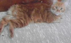Missing approximately around nov.6th off smith ryals rd. plant city, fl. 33567 Our family cat just seem to disappear , ANY INFO would be APPRECIATED call -- He is an orange, longhair , no tail .