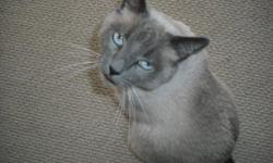 LOST CAT 12/8/12 Dorado Country Club Speedway/Wilmot Adult Male Grey and Ivory Siamese Please help us find him. Reward offered. Jennifer .. Chad ..