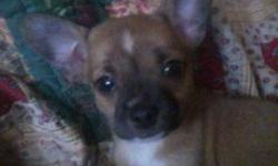 LOST CHIHUAHUA IN LUBBOCK TEXAS NEAR THE DRIVE IN MOVIES SHE TAN WITH BLACK MARKING ON HER FACE AND A