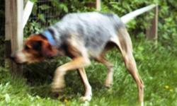 Black & tan coonhound with gray and white speckles - 3 yrs old - lost Bannister & Grandview Rd.
