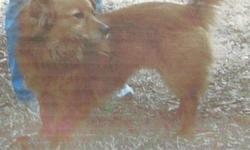 Lost 9 yr old corgi/shepherd mix female, reddish brown in color. She has short legs, long hair and fluffy tail. Wearing a turquoise collar and red flea collar. Last seen 10/13/12 by w basin fire dept in mannford. Please call or text if you've seen her!