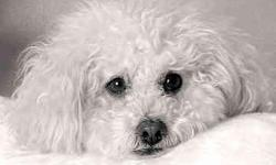 Female Bichon, Curly White coat, 6 yrs. old, missing since 9/7, W. Northgate/Lewis Ave. area