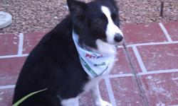 Black and White Border Collie (male) last seen July 4th in the Elks/Mohegan area. Please call Terese at 575-621-2486. Rocco is very friendly, affectionate, probably frightened and extremely missed by his family. Reward offered if found.
