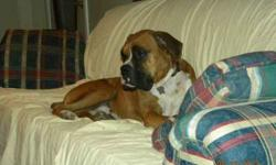 Lost fawn/white male boxer in area of hwy47 & Leonard road Dec 7-8th. He weighs about 80 lbs. He is wearing a red collar with rabies tags. He is micro chipped. If seen or found please call or text me at 561-753-8547.