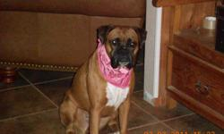 LOST FEMALE BOXER CHIMNEY ROCK AREA LULU IS HER NAME BROWN WITH WHITE CHEST PLEASE HELP US SHE IS PART OF OUR FAMILY PLEASE CALL --