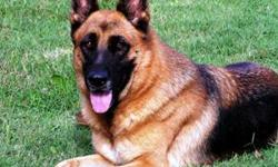 LOST - BLACK AND RED FEMALE GERMAN SHEPHERD. Cassie is 9 years old and has stitches in her belly that need to come out. She also has a microchip in her back and an ear tattoo. She is very loved and just had a tumor removed. Please call us if you have seen