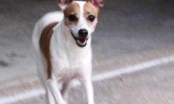 Lost Betsy, our female Jack Russell Terrier July 12 in Southeastern Kansas, not too far from Joplin. She is white with gold spots,  Her tail is white and cropped, her ears stand up. Please help us as she got out of the car and is lost.