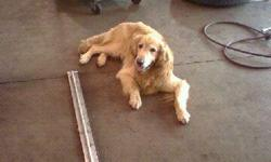 Missing since October 29, 2010. Male blond Golden Retriever jumped out my window on Oct. 29. When I came home from work is when i found him missing. He has a high case of anxiety in which he takes medication for. There must of been strong winds that day