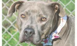 LOST MALE PIT BULL MIX. HES ABOUT 3 YEARS OLD. HE IS GREY WITH WHITE ON CHEST. PLEASE CALL WITH ANY INFO. LAST SEEN IN WILLOW WALK HOMES IN HEMET. POSSIBLY LEFT GATED HOMES AND ID NOW ON SANDERSON. MISSING SINCE 10/19/10/ PLEASE CALL WITH ANY INFO. 561