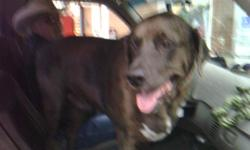 LOST catahoula mixedmale neutered dog. Silver, black, and white chest. small blue speck in left eye. When he disappeared he weighed about 140 pounds.Lost from the area of Dripping Springs at Grand Lake of the Cherokees, 2 miles from the