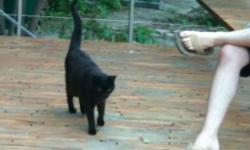 """Male black cat, roughly 4-7 years old. Got loose in the parking lot at the Deer Park vet, ran off. He's fixed, pretty friendly (but probably scared). """"Scraps."""" I wouldn't say he's chubby, but he's definitely thicker than an outdoor cat would be."""