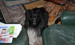 LOST: BLACK AND WHITE MINIATURE COLLIE (ALSO CALLED SHETLAND SHEEPDOG OR SHELTIE) REWARD OFFERED OF $1000.00. HE IS A VERY SMALL BLACK AND WHITE, MALE SHELTIE. HE JUMPED OUT OF CAR WHEN WE WER PARKED AT THE OLD BURNED OUT TRAILER BETWEEN RADIO