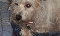 Small white wire haired terrier......(see Pic) gone New Year's Eve due To thunderstorm & firecrackers. Please call if you've seen Scruffy. Thanks.