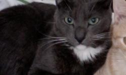My male dark blue tuxedo with green eyes disappeared July 28 from Signal Mountain on Pinville Rd @ Windridge Apts. Reward if found.
