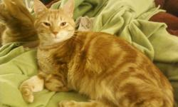 Rusty is an orange tiger cat with circles and stripes on his side. He escaped in the Moffat/Applegate area from my apartment the night of 9-29-2012. Please call 210-828-9441 if you find him. $100 reward if returned alive. Here is a picture of