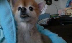 14 year old male Pomeranian. Please call .. or ..