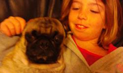 lost black and fawn pug by 12th street and janeway . he is a neutered male . Please ,please contact if has any info. Little girl needs her pug . -- or . --
