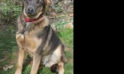 Lost Shepherd Mix, Meriden CT Last Seen 12/13/2012  A 9 month old male Shepherd mix named Yankee went missing on 12/13/2012. Yankee is about 50-100lbs, black and brown, and very shy and nervous around strangers. He was last seen on Avery