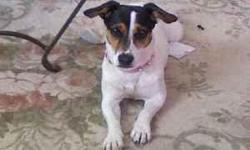 """""""Malibu"""" is an adult, female, Jack Russell Terrier, that was lost after a serious accident on I-90/MP267 near Cheney on November 24, 2010. Her housemate did not survive the crash. She was wearing a bright orange life vest, pink spike collar, and a"""