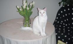 Lost Male White Cat 3years old around 11 pounds Mircrochipped Reward Last seen at Hurston Circle on December 1st