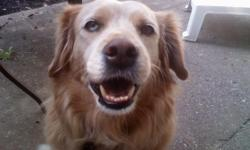 My dog went missing sometime after September 26th around Kelly Cemetery Road, between Dr Martin Luther King Jr Lane (Research Park Blvd NW) & Pulaski Pike. She's a yellow lab mix, approximately 38 pounds, semi-long, blonde fur, 10 years old but doesn't