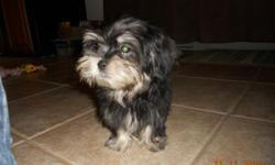 4mnth old male yorkie/maltese mix puppy. Is black with white on his face, belly and paws. had a blue collar on with a bell and Dogtag. was last seen 12/31/10. Puppy is my 3yr old sons dog. reward if found