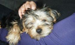 Please help Yorkie Male Puppy with droopy ears goes by the name of Roush lost 12/6/2010 . -silver, gray, and white - 10lbs Loving Animal got out of Bradenton Florida area home on Fishermans Drive 34209. If you have any information or have seen this dog