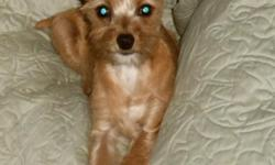 This adorable small miniature pinscher/toy poodle female will melt your heart - I call her Jumper for obvious reasons.  She shows more minpin than poodle; this mix is a great joy and will add much love to her forever family.  shots