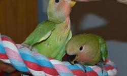 This lovebird has just been weaned about 2 wk's ago now. You can handle the bird but I don't have the time to keep up with handling him/her. Now would be the perfect time to get this cutie before the tameness is loss. The one with the yellow face has been