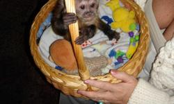These are monkeys of great standard and quality, they are smart,healthy,vet checked,vaccinated and up to date on all shots. They are also socialized and playful with kids as well as other home pets. They will make a perfect addition in any nice and caring