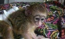 There is a male and female baby capuchin monkeys we have for re-homing now. They have been raised in our home and have grown up together. They are on current shots and have been vaccinated against diseases and have all vet papers and health records. They