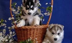 Male and female siberianhusky puppies ready for any loving and caring home. They are upto date on all their shots. They have very good personality with kids and other pet. They will come along with all their papers.they have all health papers and will be