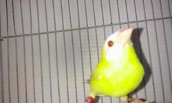 YOUNG MALE, lutino parrot finch 6 months old ( 2012 closed band ) call or text me --