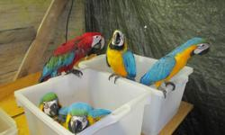 I have a DNA'd big beautiful blue and gold macaw for sale. I am sizing down the parrots and hope to get him a good home. He talks very well, and was a pet at one time. We had him for breeding but the mate died shortly after we got him. I was looking for