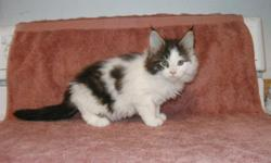 Maine Coon kittens available. Purebred, pedigreed kittens raised in my home. The parents are from show cat lines with International, National and Regional Award winners in the pedigree. I have both male and female kittens available with