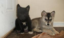 Two female Malamute Mix puppies ready just in time for Christmas!!!  First shots/wormed. Playful, sweet, loving and HEALTHY.Both have blue eye's although mom and dad have brown eye's. They have been handled every day since they were born and are very