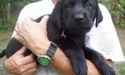 AKC Registered Male and Female Labrador Retriever Puppies For Sale...Vet checked registered,vaccinated,very friendly with kids and other home pets.For more details and willingness to provide a caring and lovely home for one of these lovely puppies should