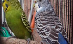 i have a green male and a light blue female parakeet for sale with cage and nesting box and food and toys all together i am asking 100 O/B/O just email me at redneckgirl197731@yahoo.com or call me at 231-360-4174 ask for rita thank you