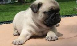 we have both male and female pug puppies for adoption they are hand raised vet registered current on all shots and also willing to have the best family any where that can provide and love them both they are potty trained and crate trained this puppies are
